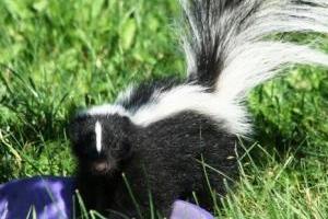 skunk-job-5