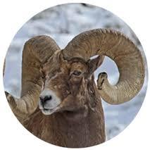 wyoming-wild-sheep