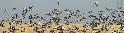 north-dakota-ducks
