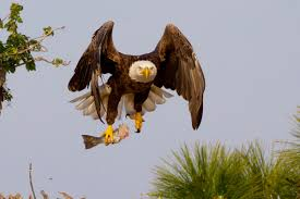 eagle-with-fish