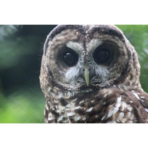 owl-breeding-langley